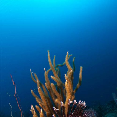 benz_11_lionfish_08g