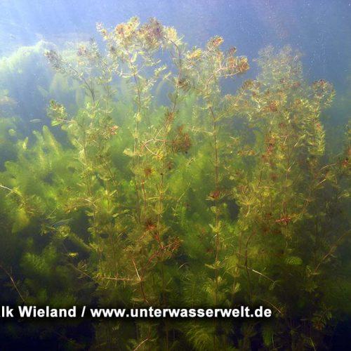 Wieland_08_meissen_14g